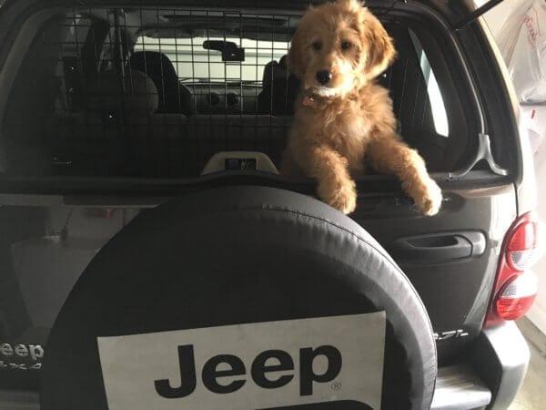 Goldendoodle Testimonial Puppy