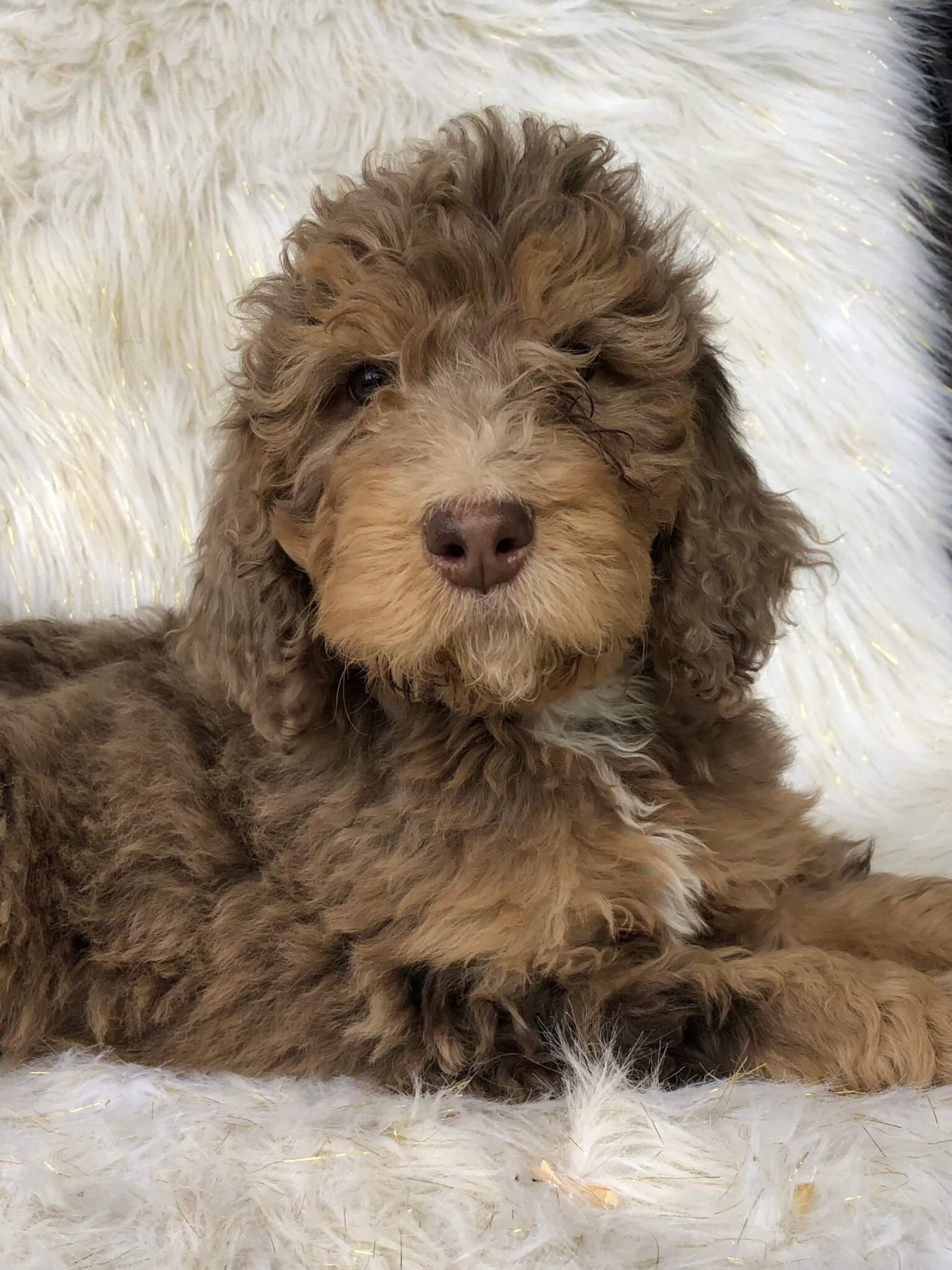 Available Puppies Fawn River Kennels