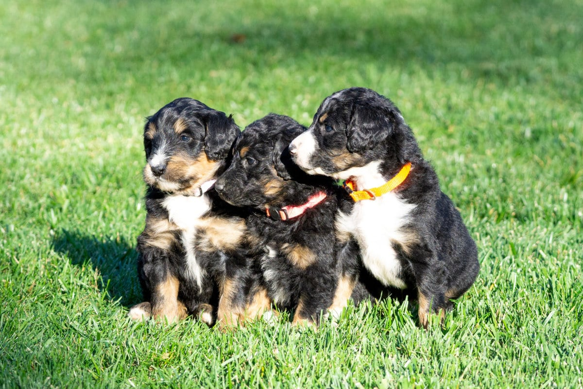 Upcoming Litters at Fawn River Kennels